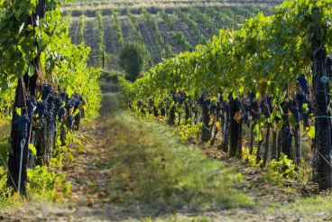 lush ripe red wine grapes on the vine tuscany, italy